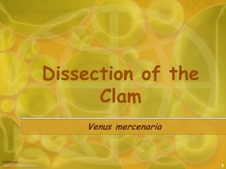 1 Dissection of the Clam Venus mercenaria Modified from :http://www.biologyjunction.comhttp://www.biologyjunction.com.
