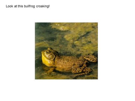 Look at this bullfrog croaking!. Most male frogs and toads puff up their throats when they make a sound. Not all frogs and toads make the same sound.