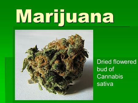 Marijuana Dried flowered bud of Cannabis sativa. What is marijuana?  Green, brown, or gray mixture of dried, shredded leaves, stems, seeds, and flowers.