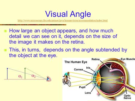 Visual Angle How large an object appears, and how much detail we can see on it, depends on the size of the image it makes on the retina. This, in turns,