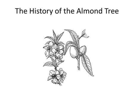 The History of the Almond Tree. The Almond Tree, believe it or not, is a member of the rose family, Chris Barber! It is however closely related to the.