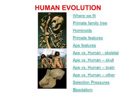 HUMAN EVOLUTION Where we fit Primate family tree Hominoids Primate features Ape features Ape vs. Human - skeletal Ape vs. Human – skull Ape vs. Human –