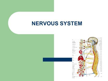 NERVOUS SYSTEM. WHAT ARE NERVES? Nerve: A nerve is a chord that carries different axons. A nerve is that chord that carries feelings in your body to your.