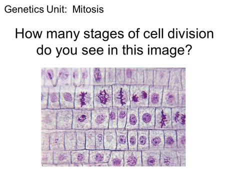 How many stages of cell division do you see in this image?