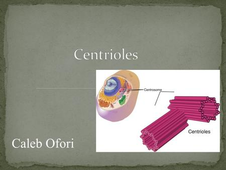 Caleb Ofori. Centrioles are barreled-shaped structures that exist in eukaryotic cells. They exist in all eukaryotic cells besides plant cells and fungi.