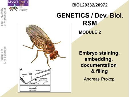 The University of Manchester Faculty of Life Sciences Andreas Prokop BIOL20332/20972 GENETICS / Dev. Biol. RSM MODULE 2 Embryo staining, embedding, documentation.
