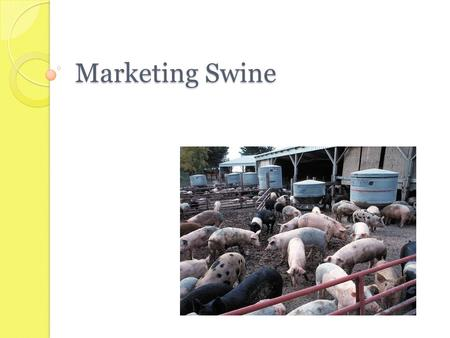 Marketing Swine.