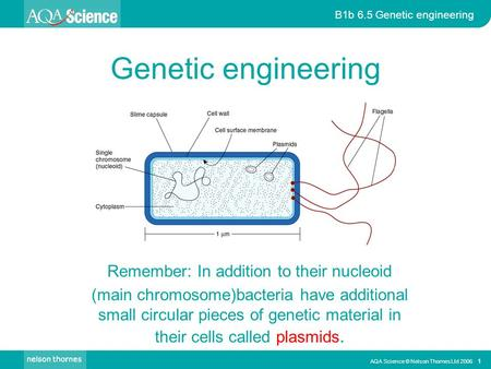 AQA Science © Nelson Thornes Ltd 2006 1 B1b 6.5 Genetic engineering Genetic engineering Remember: In addition to their nucleoid (main chromosome)bacteria.
