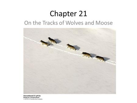 Chapter 21 On the Tracks of Wolves and Moose. Young Gray Wolf-Romeo Every summer and a few weeks in winter, scientist investigate the Isle Royale's pack.
