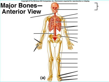 b Functions of Bone Support and Protection shape and form underlying tissue protection.