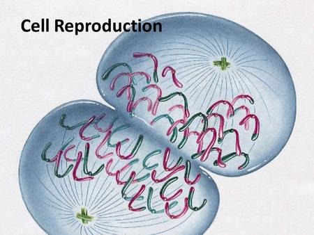 Cell Reproduction. Chromosomes: made of DNA DNA: stores all genetic information -genes: a hereditary unit of DNA -4 bases: -Adenine -Thymine -Guanine.