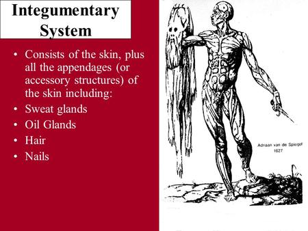 Integumentary System Consists of the skin, plus all the appendages (or accessory structures) of the skin including: Sweat glands Oil Glands Hair Nails.