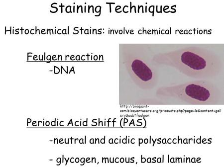 Staining Techniques Histochemical Stains: involve chemical reactions Feulgen reaction -DNA Periodic Acid Shiff (PAS) -neutral and acidic polysaccharides.