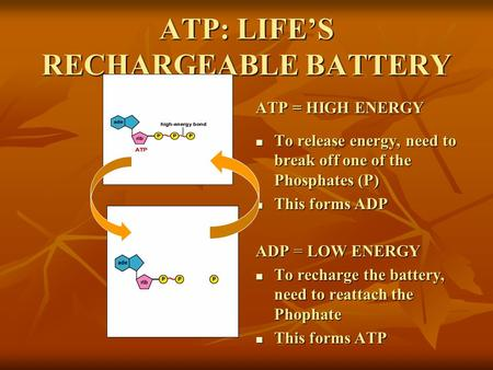 ATP: LIFE'S RECHARGEABLE BATTERY To release energy, need to break off one of the Phosphates (P) To release energy, need to break off one of the Phosphates.