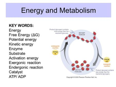 Energy and Metabolism KEY WORDS: Energy Free Energy (ΔG) Potential energy Kinetic energy Enzyme Substrate Activation energy Exergonic reaction Endergonic.