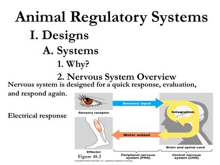 Animal Regulatory Systems I. Designs A. Systems 1. Why? 2. Nervous System Overview Electrical response Figure 48.3 Nervous system is designed for a quick.