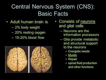 Central Nervous System (CNS): Basic Facts Adult human brain is –2% body weight –20% resting oxygen –15-20% blood flow Consists of neurons and glial cells.