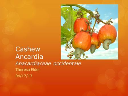 Cashew Ancardia Anacardiaceae occidentale Theresa Elder 04/17/13.