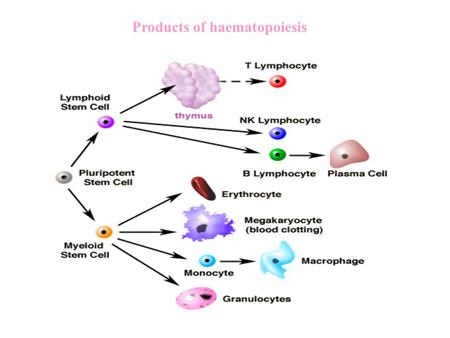 Products of haematopoiesis. Leukaemia, the current hypothesis Defect in maturation of white blood cells-may involve a block in differentiation and/or.