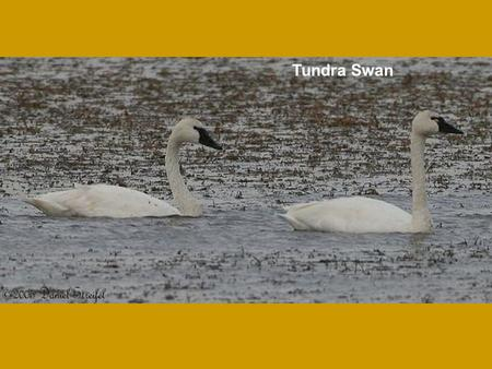 Tundra Swan. Trumpeter Swan Greater White-fronted Goose Photo courtesy of Dan Streifel.