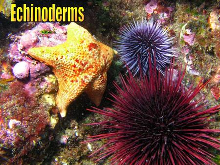 "GENERAL CHARACTERISTICS Ex: sea stars, brittle stars, sand dollars, sea urchins, & sea cucumbers All marine "" Spiny-Skinned Animals"" - meaning Radial."