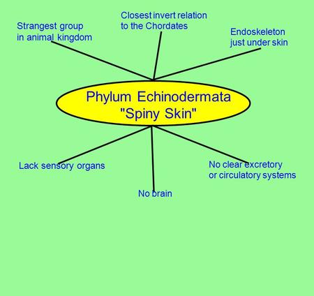 Phylum Echinodermata Spiny Skin Strangest group in animal kingdom Closest invert relation to the Chordates Endoskeleton just under skin Lack sensory.