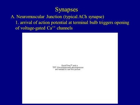 Synapses A. Neuromuscular Junction (typical ACh synapse) 1. arrival of action potential at terminal bulb triggers opening of voltage-gated Ca ++ channels.