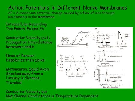 Action Potentials in Different Nerve Membranes AP = A membrane potential change caused by a flow of ions through ion channels in the membrane Intracellular.