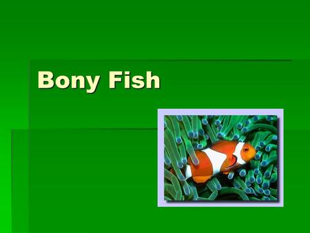 Bony Fish. Class Osteichthyes  Includes all bony fishes  Cold-blooded vertebrates  Largest class of all vertebrates  Accounts for 96% of all fish.