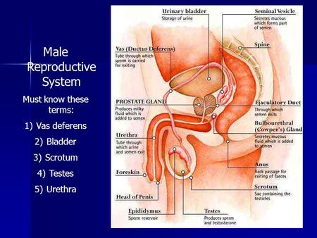 Male Reproductive System Must know these terms: 1)Vas deferens 2)Bladder 3)Scrotum 4)Testes 5)Urethra.