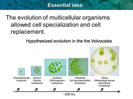 Essential idea: The evolution of multicellular organisms allowed cell specialization and cell replacement.