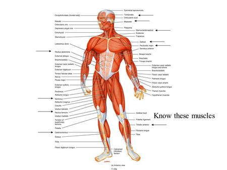 Know these muscles. Muscle Tissue Alternating contraction and relaxation of cells Chemical energy changed into mechanical energy.