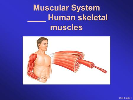 Unit 3 slide 1 Muscular System ____ Human skeletal muscles.