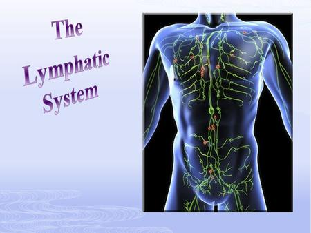 The lymphatic system is parallel to the blood vessel system. It returns fluid to the bloodstream.
