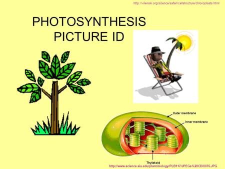 PHOTOSYNTHESIS PICTURE ID