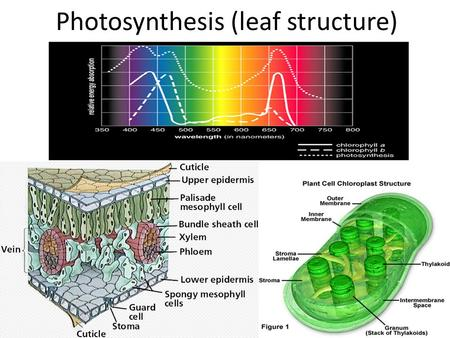 Photosynthesis (leaf structure). Leaf Structures To understand photosynthesis it is important to understand the leaf structures and functions. Leaves.