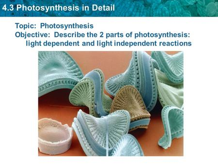 4.3 Photosynthesis in Detail Topic: Photosynthesis Objective: Describe the 2 parts of photosynthesis: light dependent and light independent reactions.