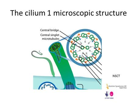 The cilium 1 microscopic structure NSCT. The Cilium 2 intracellular trafficking NSCT.