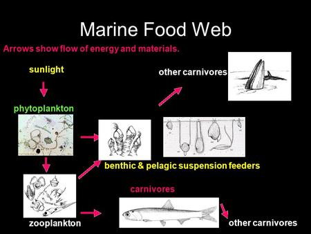 Marine Food Web sunlight phytoplankton zooplankton carnivores benthic & pelagic suspension feeders other carnivores Arrows show flow of energy and materials.