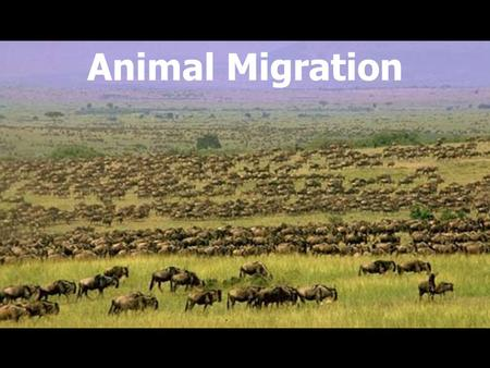 Animal Migration. What is migration? Migration: Seasonal back and forth journeys between two sites Migrant vs. Resident.