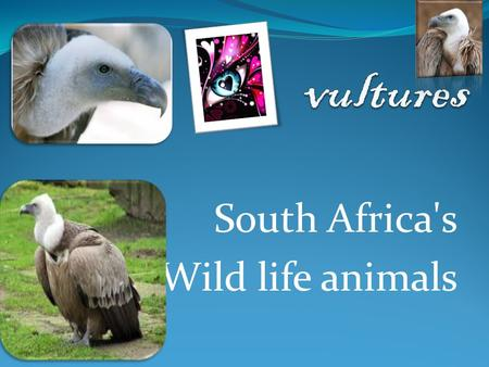 South Africa's Wild life animals. vultures Description Definition Size and Weight Interesting facts Enemas.