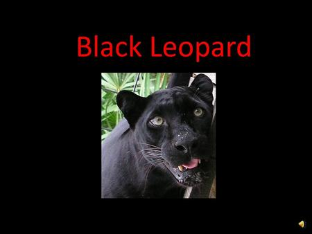 Black Leopard Five Interesting Facts Strong jaws and teeth to kill and carry a prey 2x their weight for miles and up a tree More common in Asia Most.