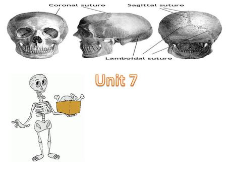 Unit 7 Human Body Systems 5 Functions of the Skeletal System. Gives shape and support to the body Protects the internal organs Provides an attatchment.