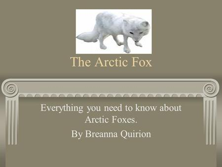 The Arctic Fox Everything you need to know about Arctic Foxes. By Breanna Quirion.