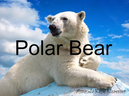 Polar Bear Amanda Kaye Elsaesser. Why are Polar Bears endangered? The Arctic is more affected by global warming than anywhere else on the planet due to.