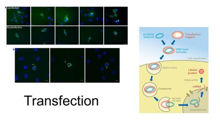 Transfection. What is transfection? Broadly defined, transfection is the process of artificially introducing nucleic acids (DNA or RNA) into cells, utilizing.