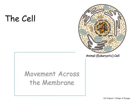 The Cell Movement Across the Membrane Cell Diagram: College of Dupage.