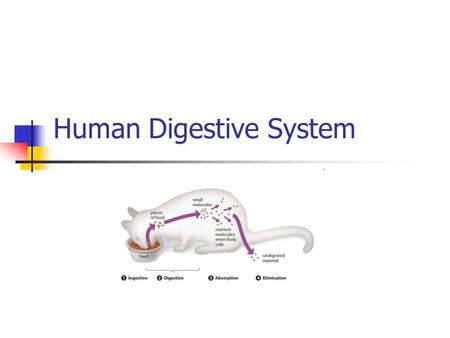 Human Digestive System. Ingest food Break down food Move through digestive tract Absorb digested food and water Eliminates waste materials HowStuffWorks.