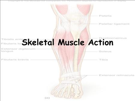 Skeletal Muscle Action. Origin and insertion The immovable fixed end of a muscle connects to a bone at the origin. The movable end of a muscle connects.