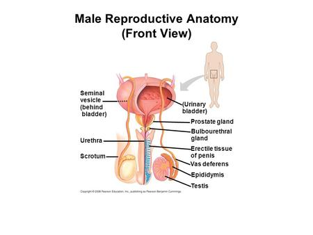 Male Reproductive Anatomy (Front View) Seminal vesicle (behind bladder) Urethra Scrotum (Urinary bladder) Prostate gland Bulbourethral gland Erectile tissue.
